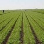 Contoh Skripsi Pertanian