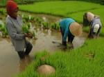 Petani menyiapkan bibit padi