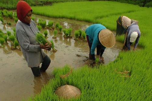 Contoh Skripsi Ekonomi ~ Alokasi Efisiensi Usaha Tani Padi Di Wilayah Daerah  Aliran Sungai Bengawan Solo